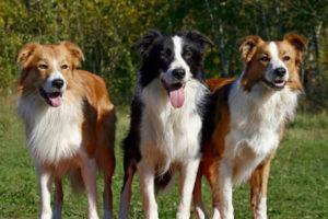 порода собак самая умная