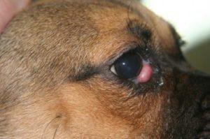 воспаления третьего века у собак